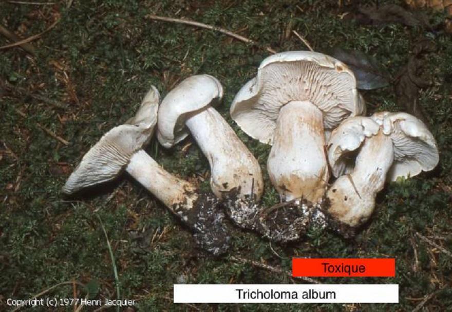 Trichomome album