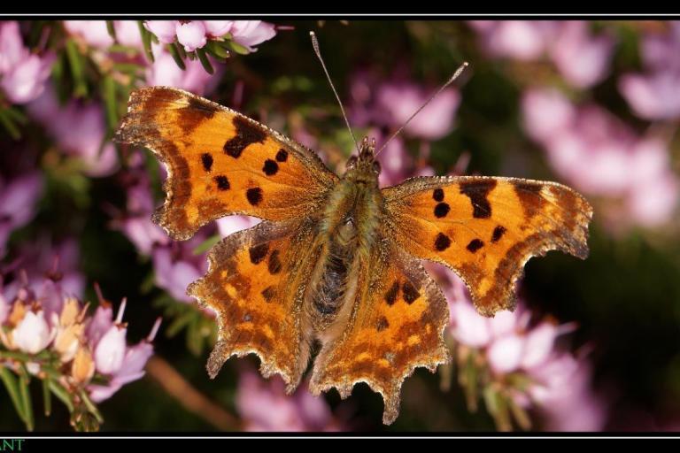 Papillon Robert le Diable @Christophe Huant, Nature isère