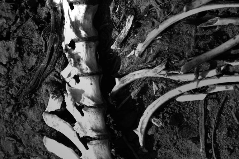 ossements animaux