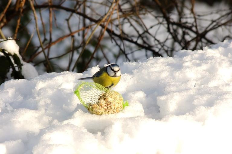 Mésange bleue dans la neige l'hiver, CCO Public Domain, nature isère