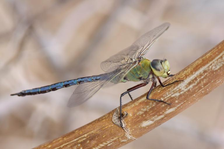 Anax empereur - David Marquina Reyes - CC BY-NC-ND 2.0 - Nature Isère