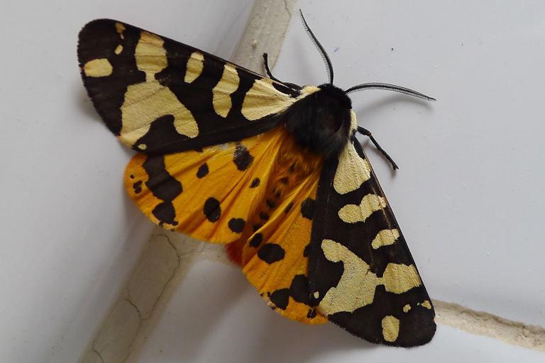 Photo d'Arctia villica, gailhampshire, CC BY, nature isere