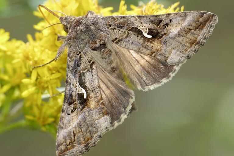 Photo d'autographa gamma, ryszard, CC BY NC, nature isere