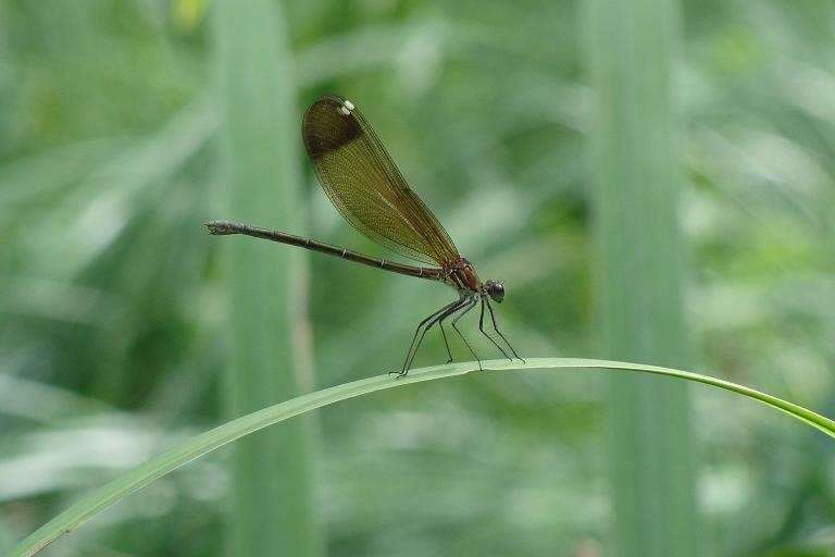 Calopteryx haemorrhoidalis_Mathieu JUTON_femelle
