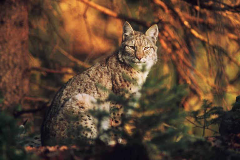 Lynx boréal © Gilles Leblais - Droits limités
