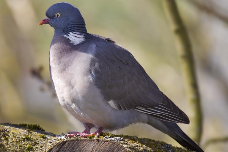 Pigeon ramier Par Andreas Trepte — Travail personnel, CC BY-SA 2.5