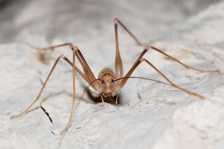 Dolichopode dauphinois - CC BY-SA Gilles San Martin