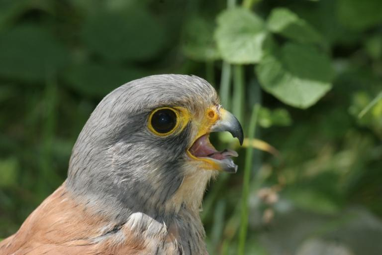 Faucon crécerelle mâle © Jean-François Noblet - Droits limités