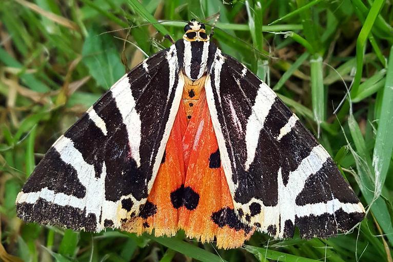 Photo d'Euplagia quadripunctaria, Ben Sale, CC BY, nature isere