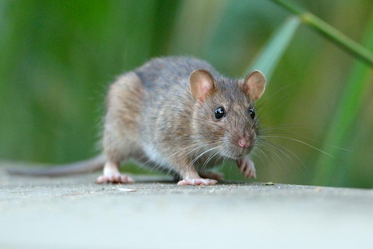 Jean-jacques Boujot, CC BY-SA 2.0, rat surmulot, nature isere