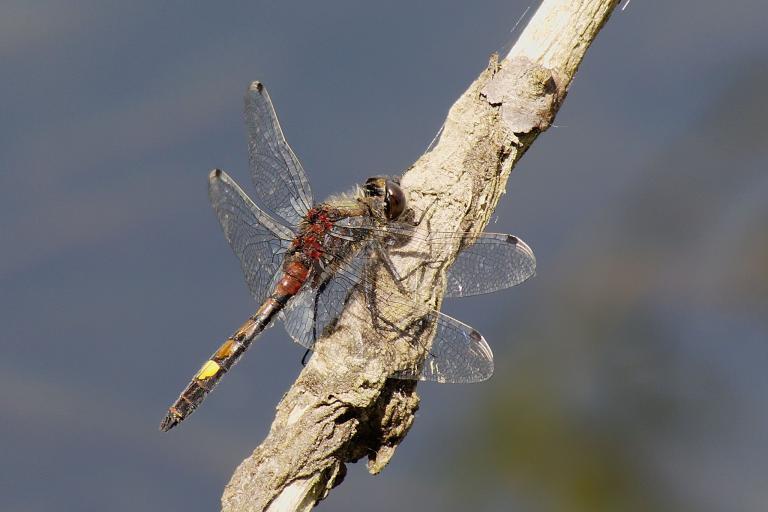 Leucorrhine à gros thorax - Andreas Eichler  - CC BY-SA 3.0 - Nature Isère