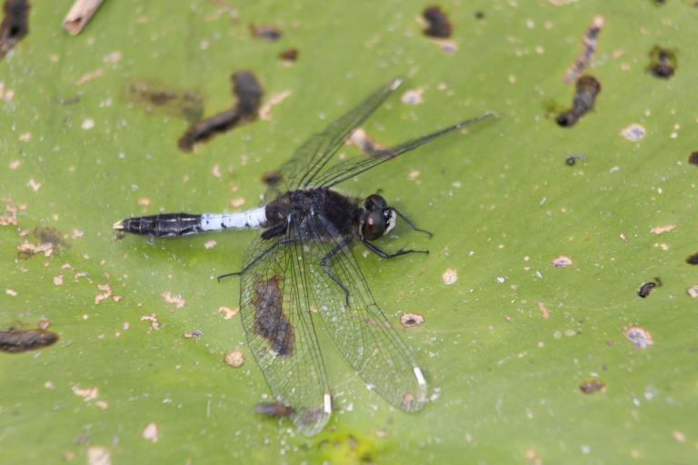 Leucorrhinia caudalis, photo de Alastair Rae sur Flickr, CC-BY-SA