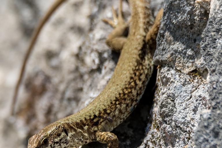 Lézard vivipare, photo de Metalbrother, CC BY-NC-ND, nature isère