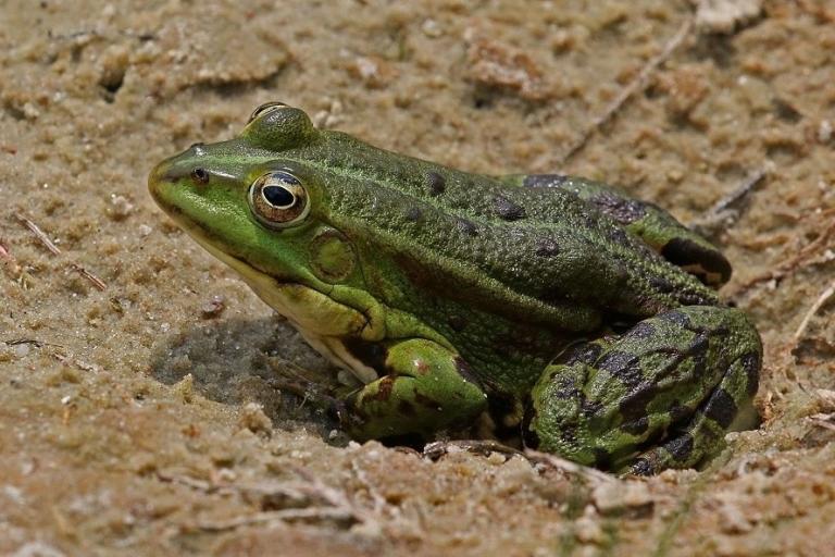 Marsh_frog_(Pelophylax_ridibundus), young adult, photo de grenouille rieuse,CC BY-SA 4.0, nature isère