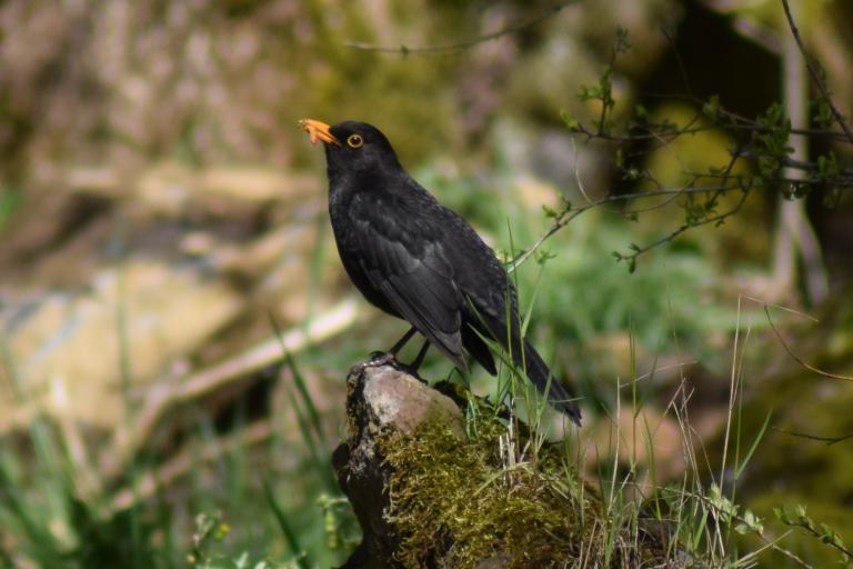 Merle noir © Kévin Marie-Louise-Henriette.