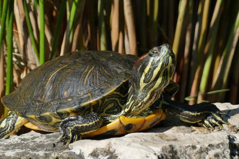Michel Piccoli, CC BY-ND 2.0, Tortue de Floride, Nature isère