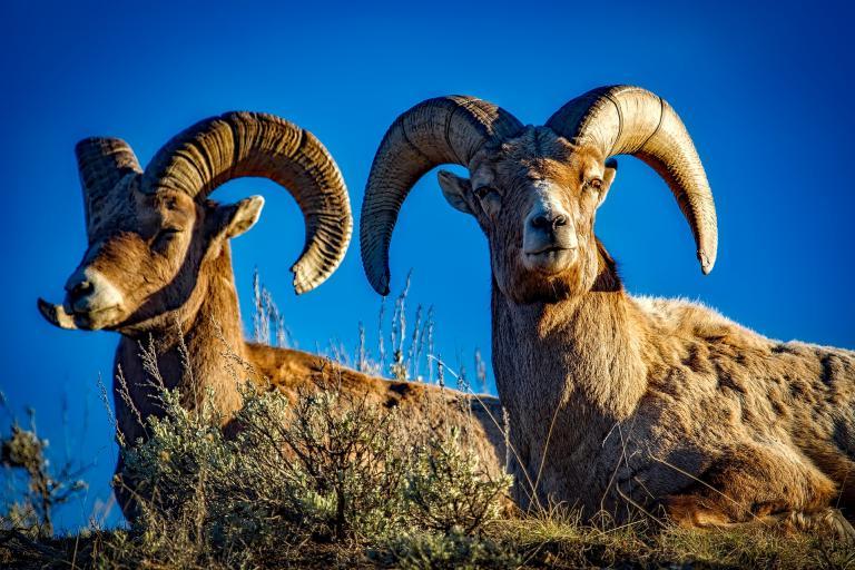 Mouflons, CC0 domaine public, nature isère