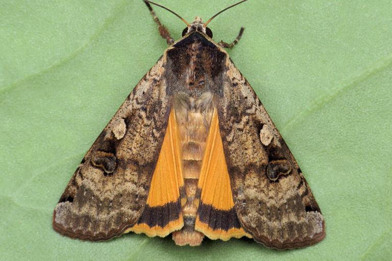 Photo de Noctua pronumba, Ryszard, Flickr, CC BY-NC, nature isere