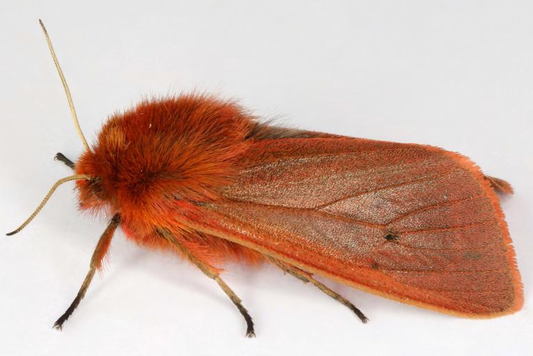 Photo de phragmatobia fuliginosa, janet graham, CC BY, nature isere