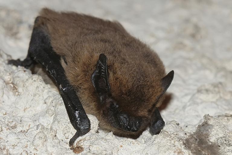 Pipistrelle commune © Guy Bourderionnet