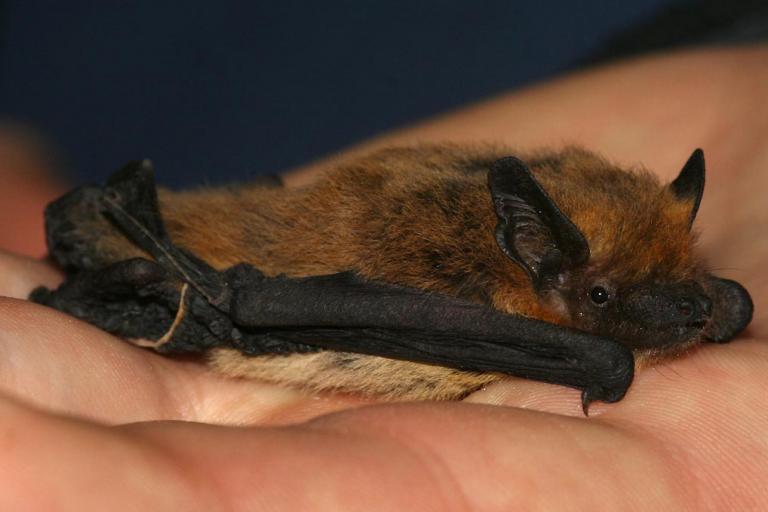 Pipistrelle de Kuhl Par Leonardoancillotto86 — Italie, CC BY 3.0