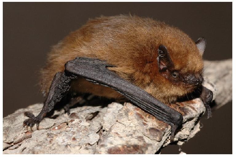 Pipistrellus pygmaeus, (photo de pipistrelle pygmée) CC BY-SA 3.0, nature isère