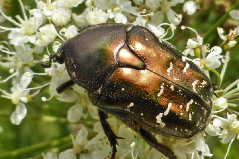 Potosia (Cuprea) Metallica - Rosalia, nature isère