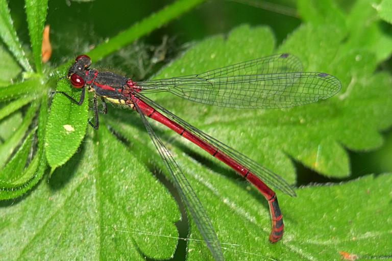 Pyrrhosoma nymphula, photo de Rolf Dietrich Brecher sur flickr, CC-BY