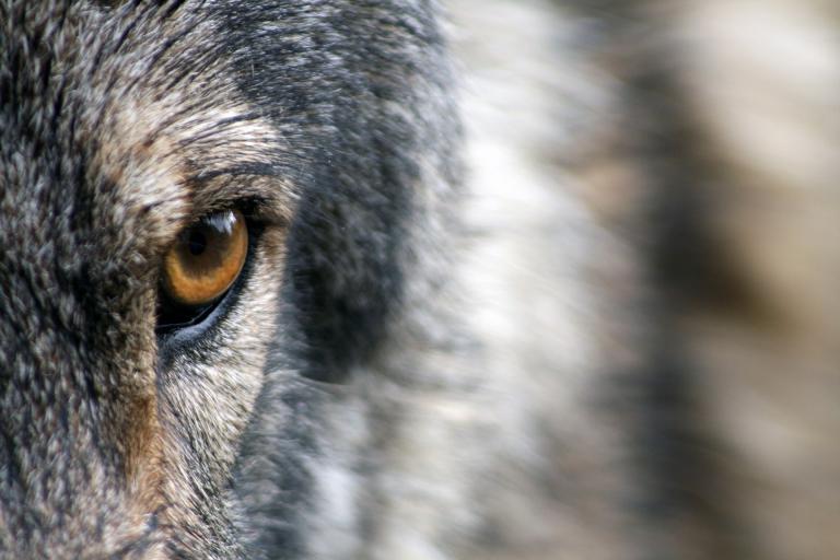 Loup, Image par Sandra Petersen de Pixabay