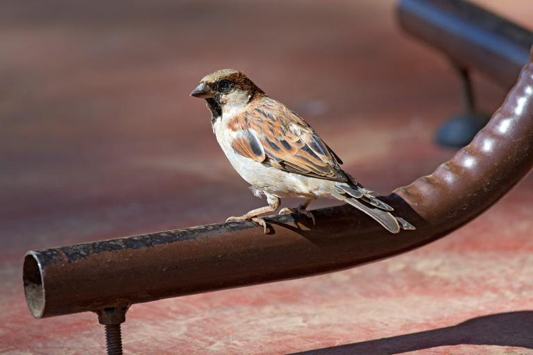 Moineau domestique, Sergey Yeliseev, House Sparrow – Passer domesticus, CC BY-NC-ND 2.0, nature isère